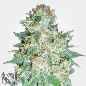 Aurora Indica Marijuana Seeds NL