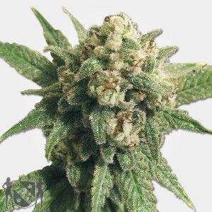 Auto Cheese Feminized MSNL