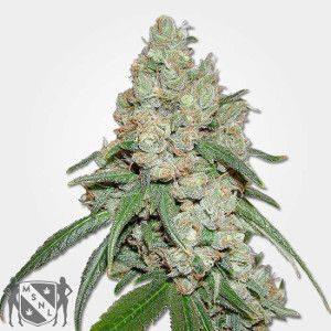 Buddha Seeds Marijuana Seeds NL