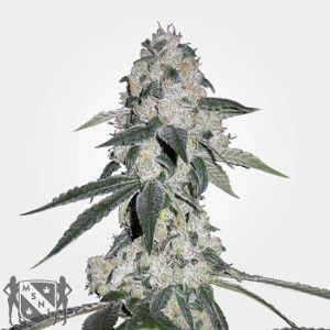 CBD Queen Marijuana Seeds NL
