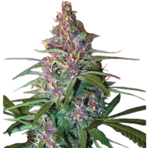 Critical Purple Auto Flowering Growers Choice Seeds