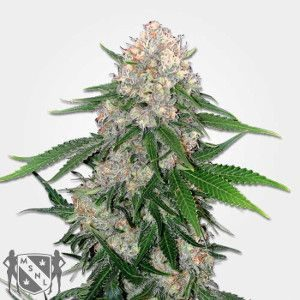 Critical Regular Marijuana Seeds NL