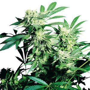 Durban Poison Feminized Cannabis Seeds Growers Choice Seeds