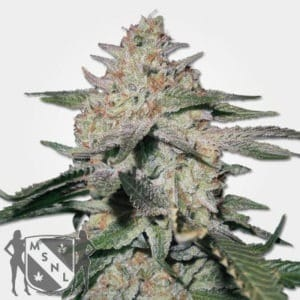 Northern Lights Feminized Seeds MSNL