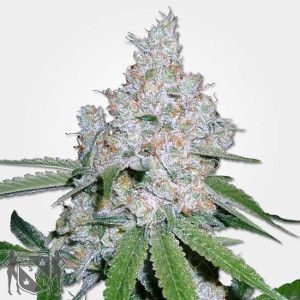 Power Plant Feminized Marijuana Seeds NL
