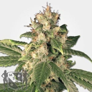 Sensi Kush Regular Seeds MSNL