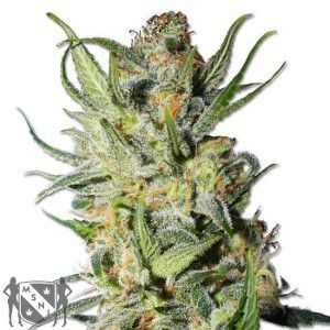Thai Stick Marijuana Seeds NL