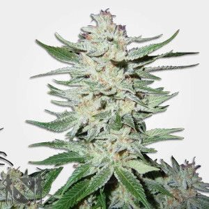 White Rhino Marijuana Seeds NL