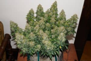 Autoflowering Cannabis PlantAutoflowering Cannabis Plant