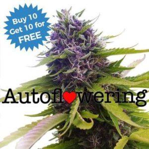 Blueberry Autoflowering ILGM