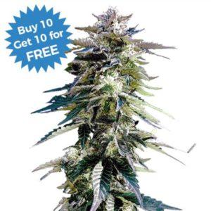 Purple Haze Fem I Love Growing Marijuana