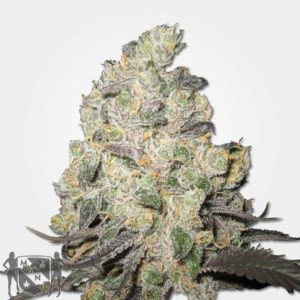 Big Blue Cheese Feminized Seeds MSNL