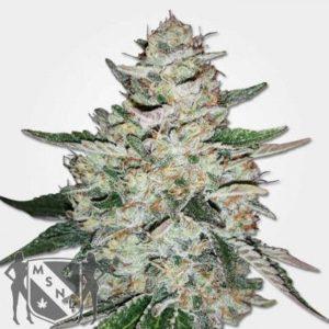 Big Bud Autoflowering Seeds MSNL