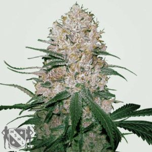 Blue OG Feminized Seeds MSNL