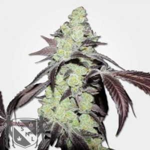 Purple Kush Feminized Seeds MSNL