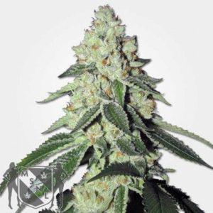 THC Snow Feminized Seeds MSNL