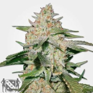 White Ruski Feminized Seeds MSNL