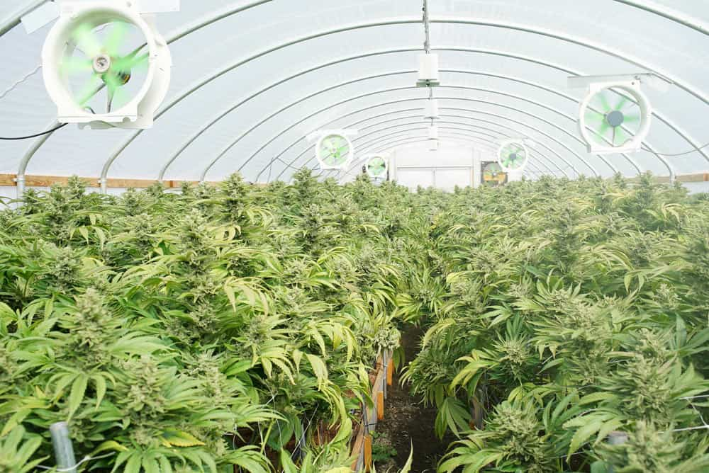 Fans in an indoor cannabis grow set up