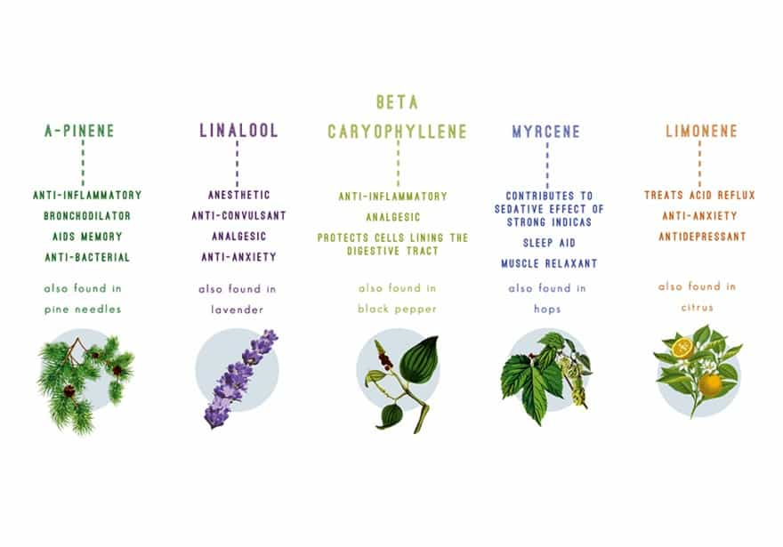 Cannabis Terpenes overview of the most popular