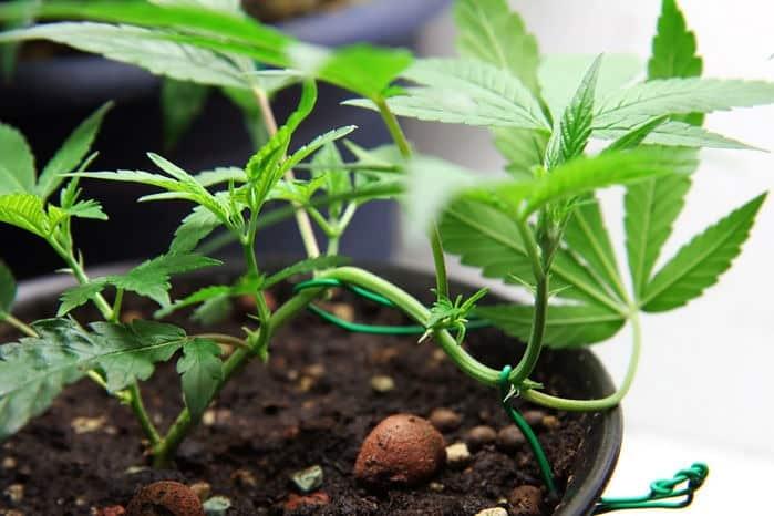 Low Stress Training Marijuana Plants